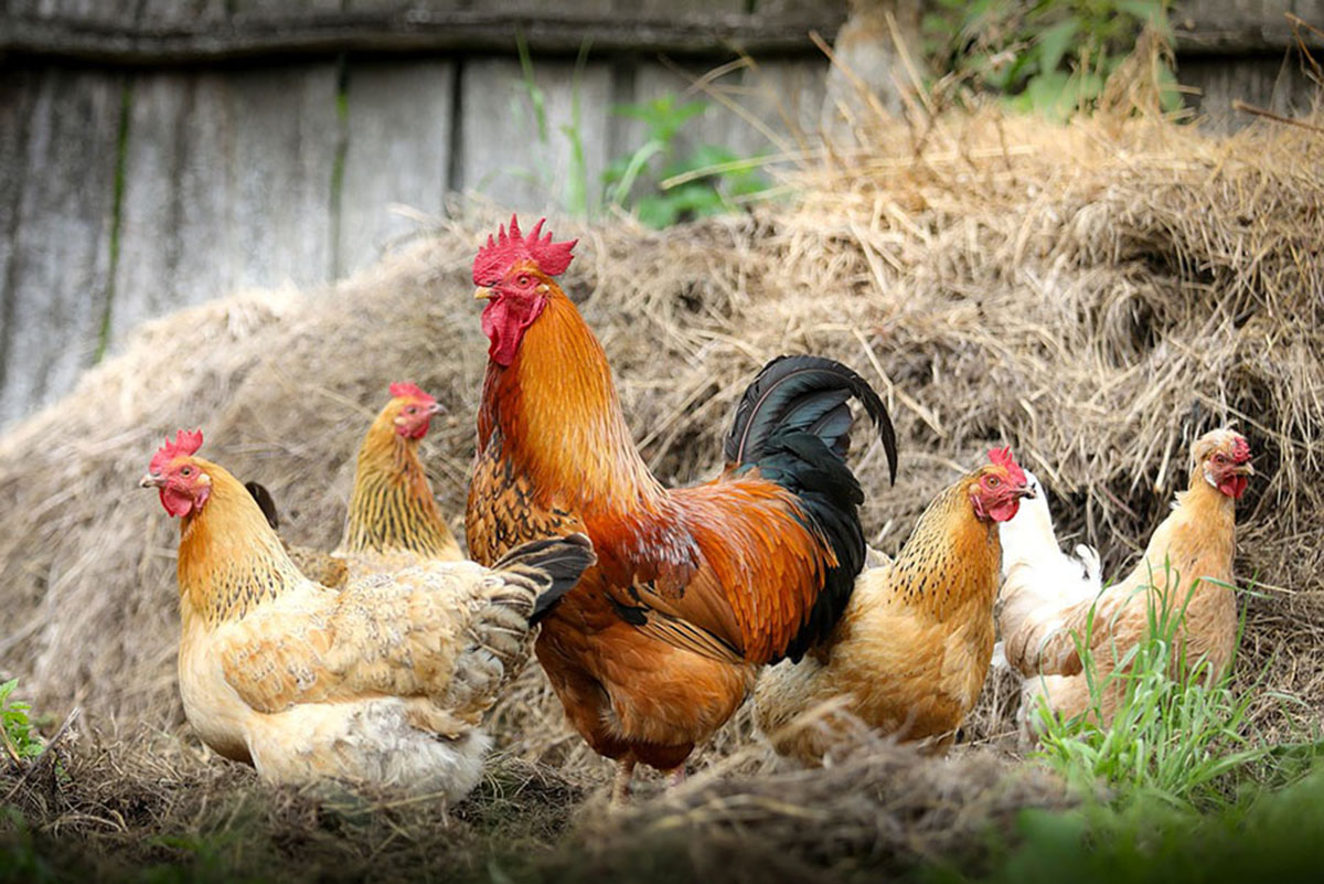 Start Poultry farming in Nigeria